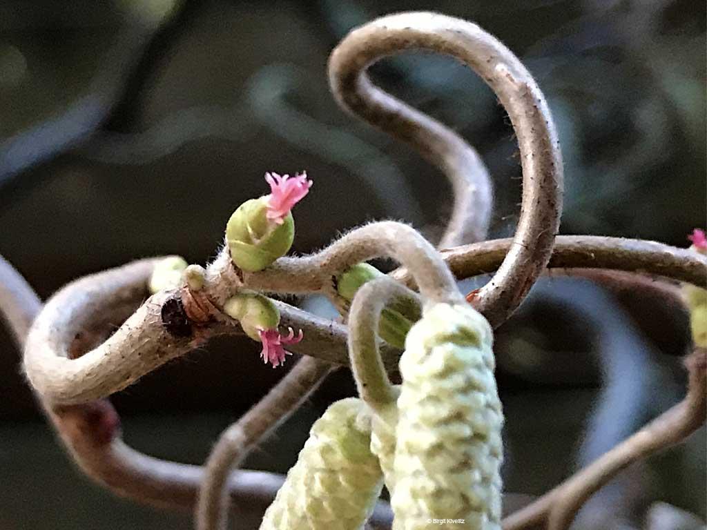 Männliche und weibliche Haselnussblüte