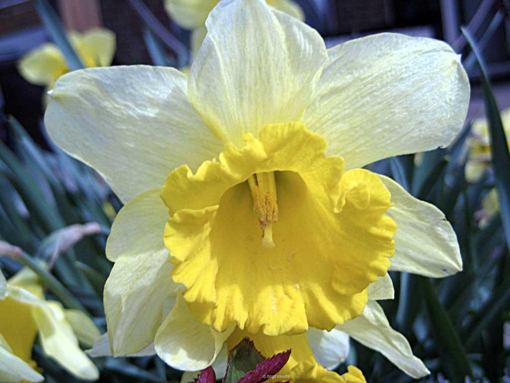 Osterglocke in voller Blüte