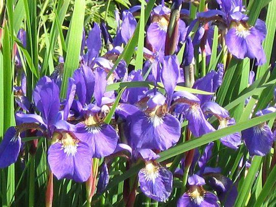 Ein Traum in Lila - Iris in voller Blüte