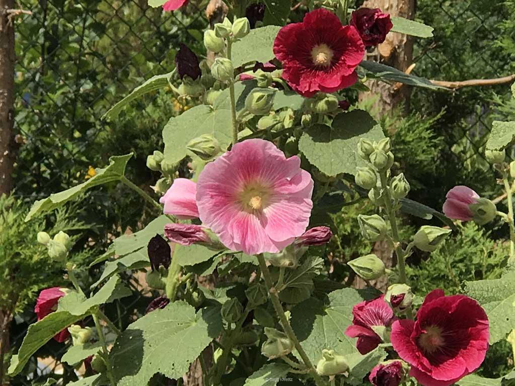 Sommerblumen aus dem Bauerngarten