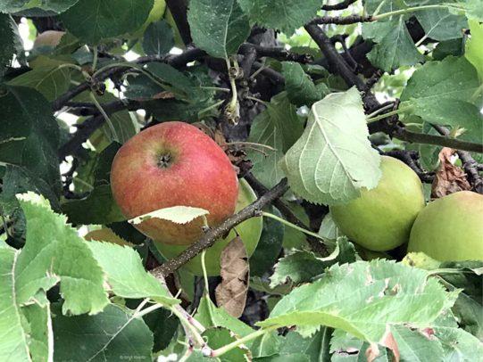 Apfelernte - roter Boskop