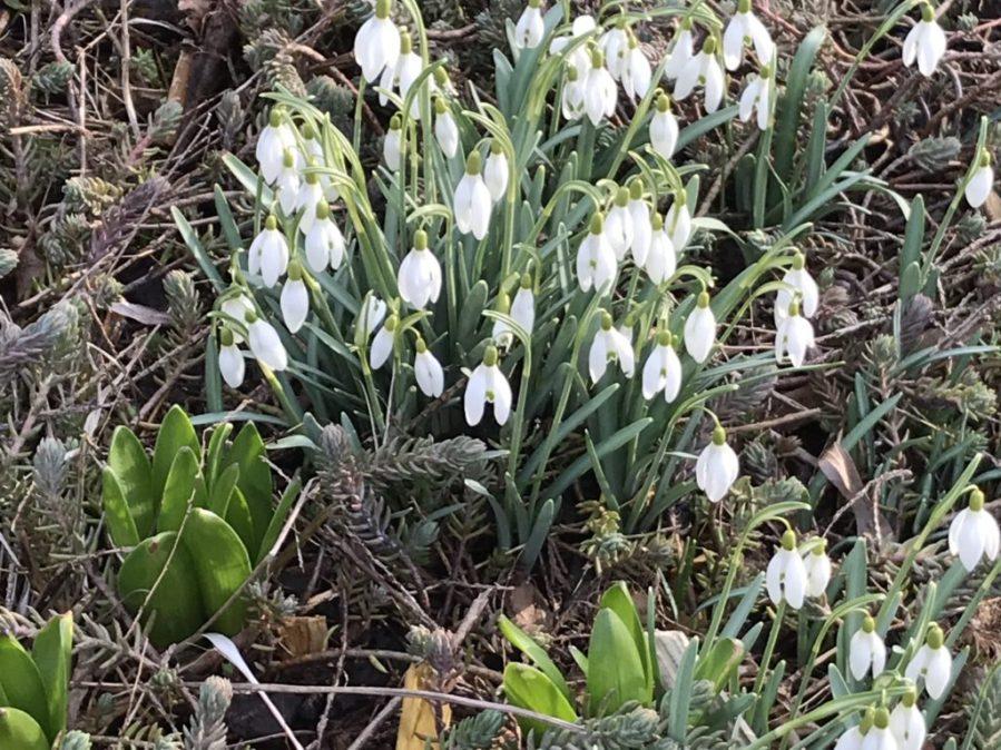 Die Schneeglöckchen blühen schon